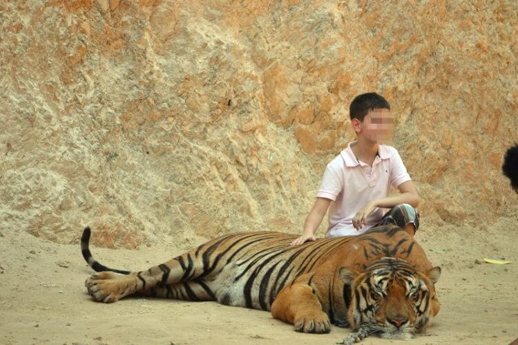 Tiger Temple management shows the worst of buddhist monks