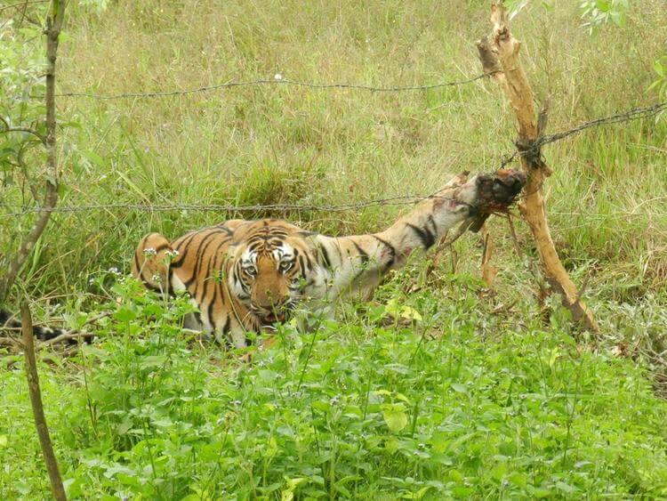 Quick Thinking by Indian Village Saves Injured Tiger