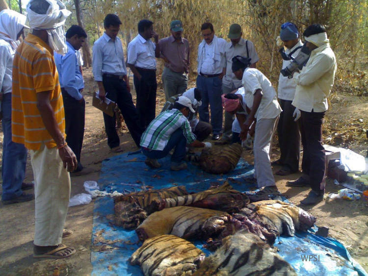 INTERPOL report highlights need for greater operational response to preserve tigers