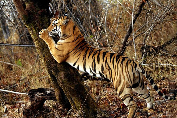 IUCN Green List criteria adopted in new Tiger Conservation standards