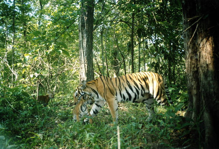 Tigers clawing back in Southeast Asia, a conservation success
