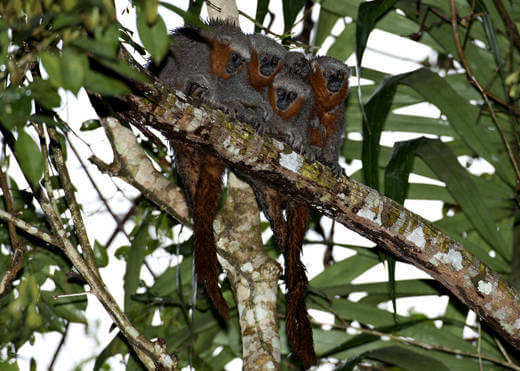 New Titi monkey species discovered in the Amazon Rainforest