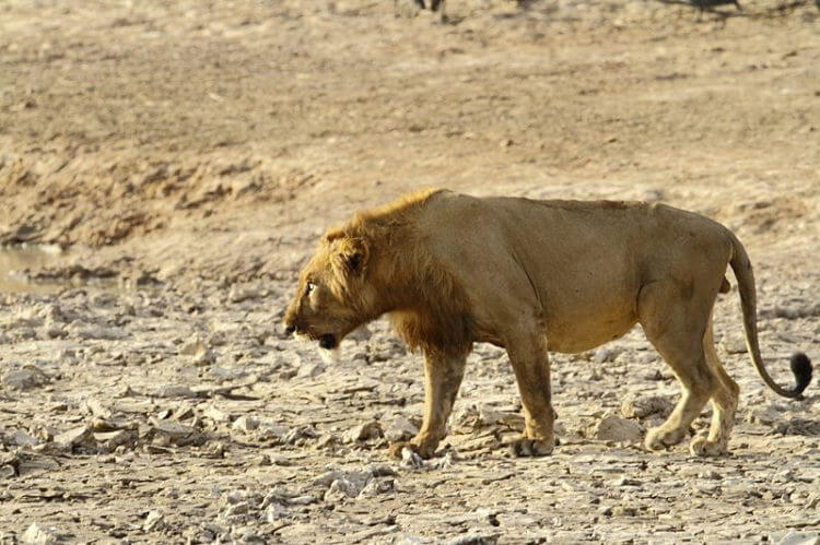 Lions face extinction in West Africa