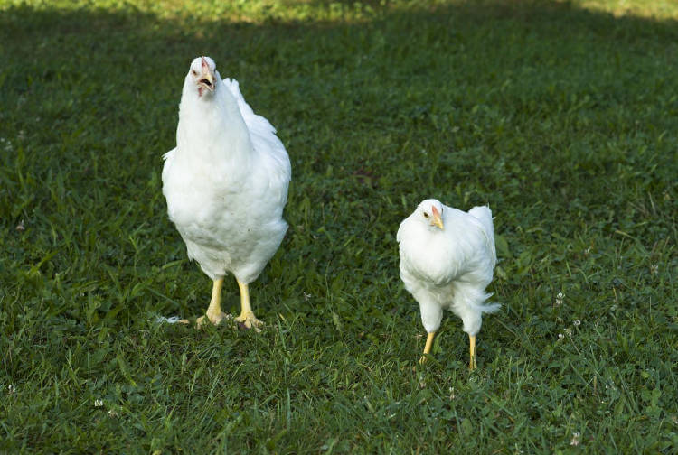 Evolution can happen much faster than thought, chicken study reveals