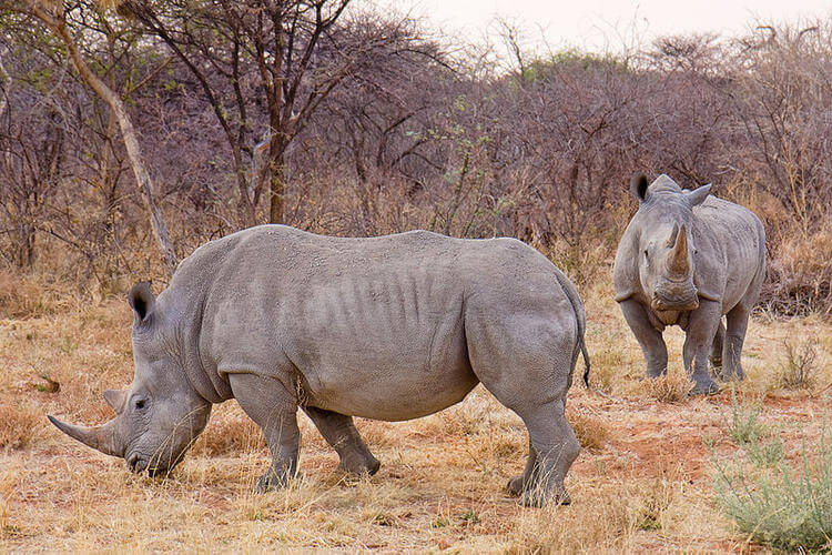 Rhino horns injected with poison to prevent poaching
