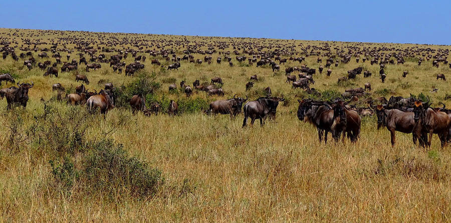 New tracking technology highlights vulnerability of Wildebeest migration