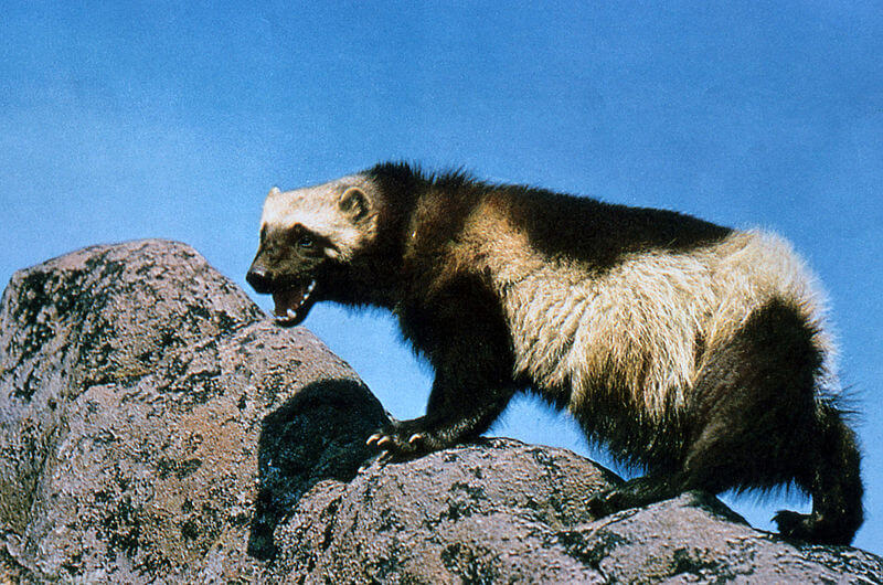 Study investigates effect of climate change on wolverine habitat