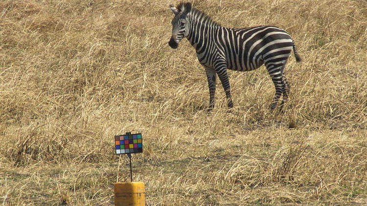 Zebra stripes are not for camouflage, new study finds