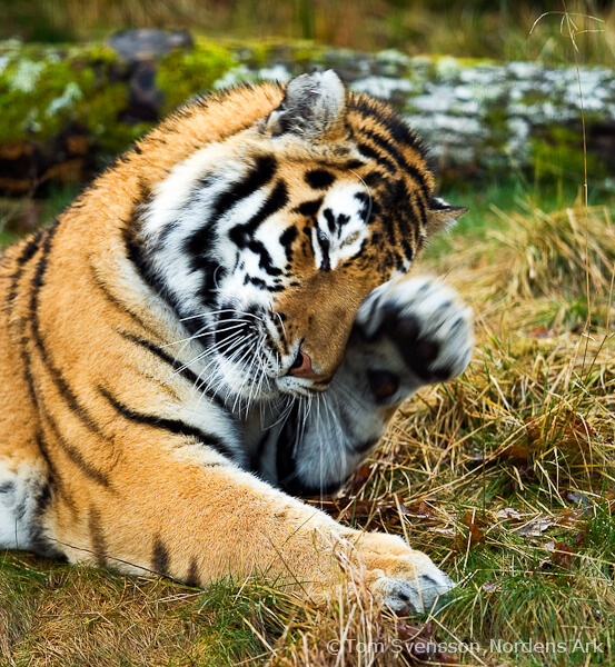 amur tiger tigerday