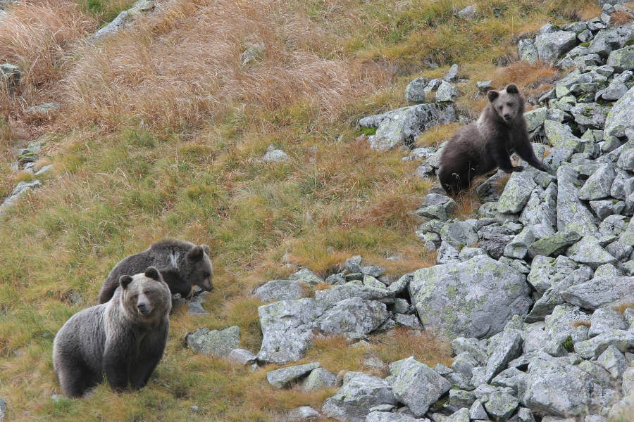 Plenty of habitat for brown bears in Europe