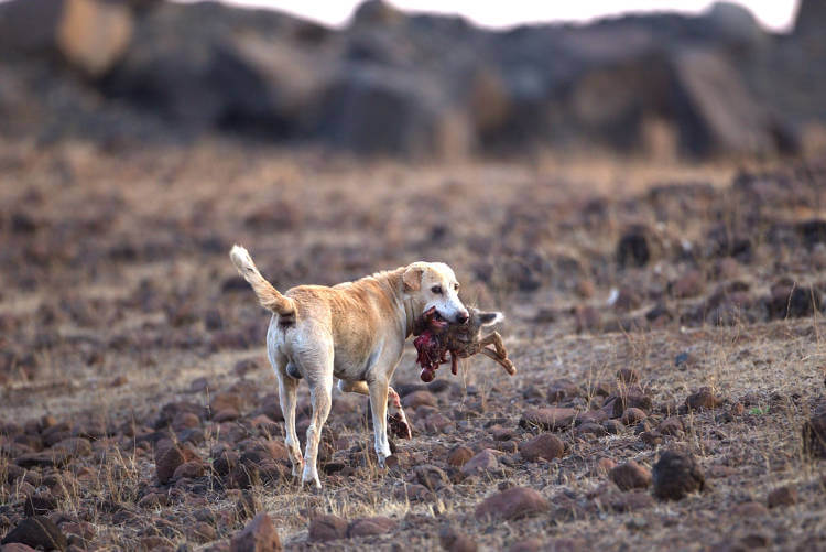 Domestic dogs almost as damaging as cats to endangered wildlife