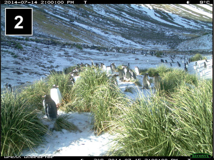 Gentoo penguins' winter behaviour captured with time-lapse cameras