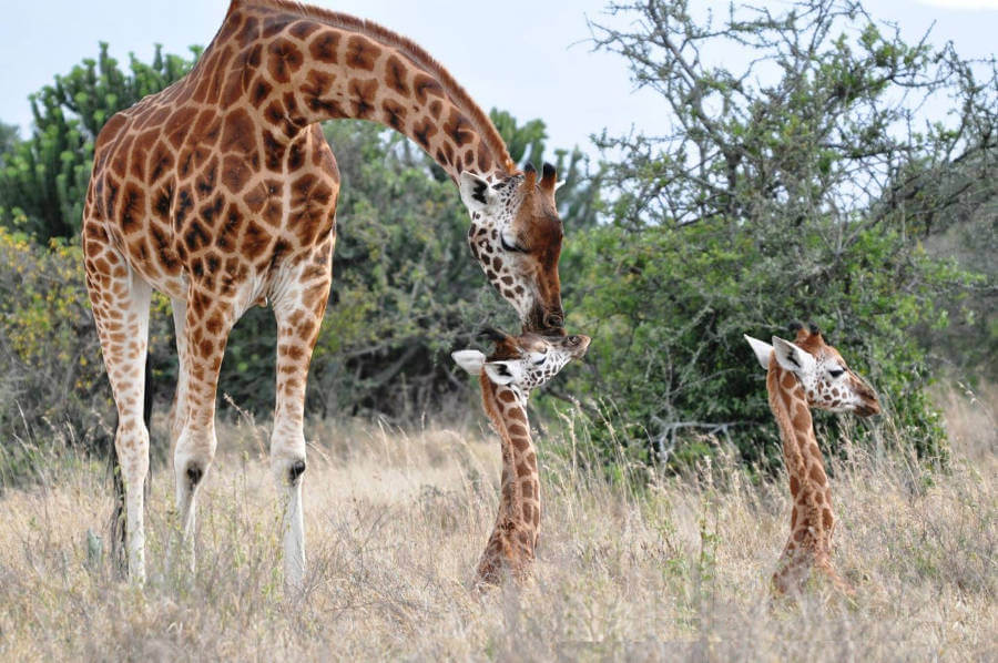 Study suggests lions are bad news for giraffe populations in conservation areas