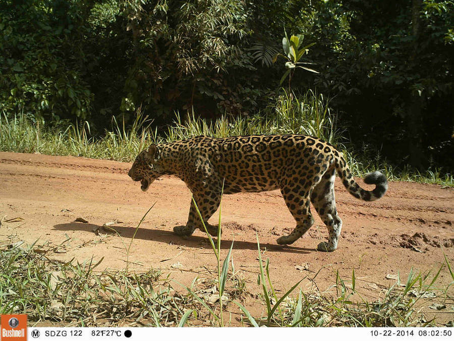 Jaguars and well-managed logging concessions can coexist!