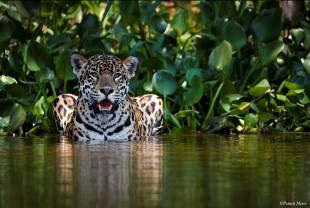 Historic jaguar conservation agreement between government and conservation organisation