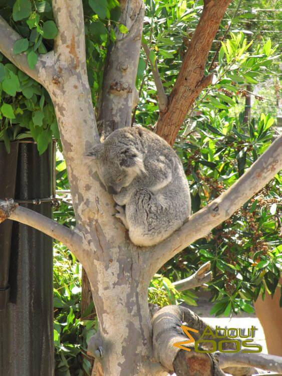 Visitors are stressing koalas out, study reveals