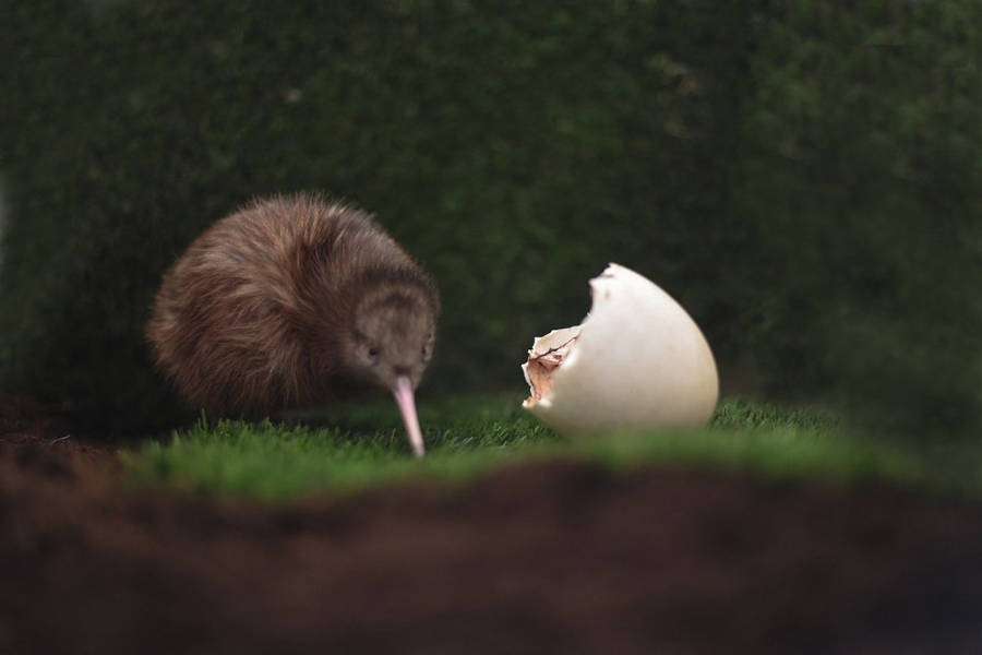 First kiwi ever hatched in Avifauna Bird Park in the Netherlands