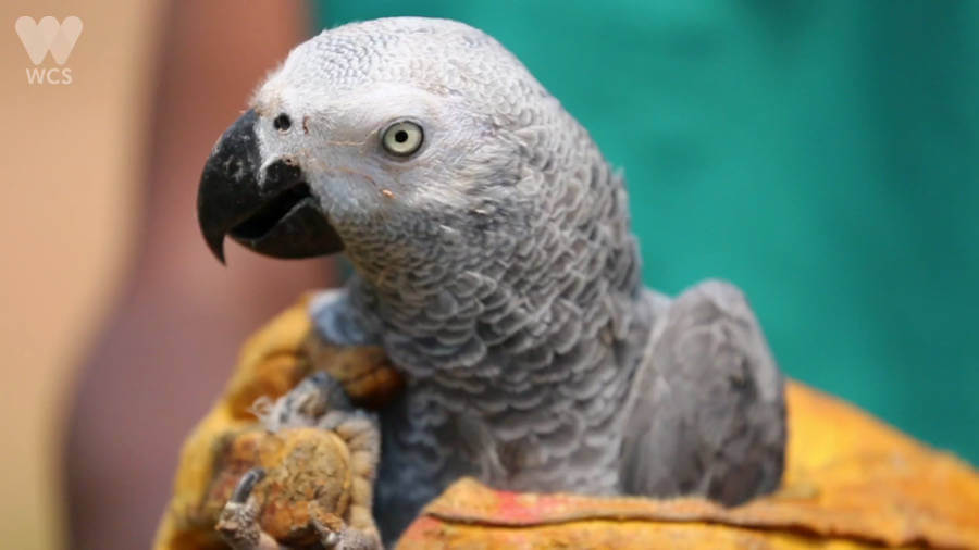 grey parrot in peril