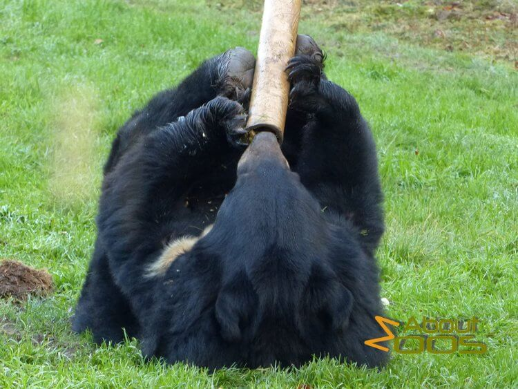 Asian black bear food enrichment
