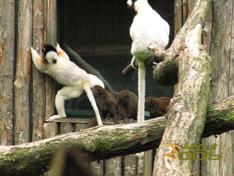 sifaka and alaotran lemurs