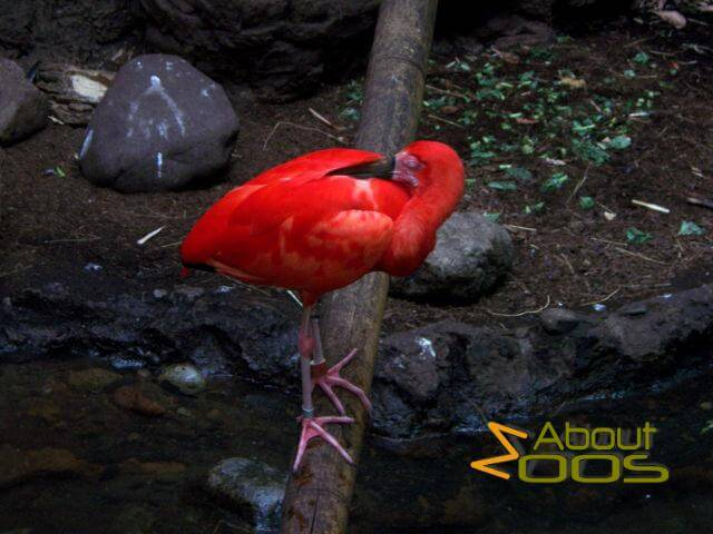 CentralPark zoo rainforest scarletibis