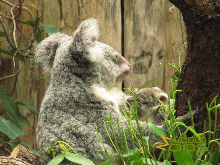 Koalas choose differently concerning rehabilitation of disturbed landscapes
