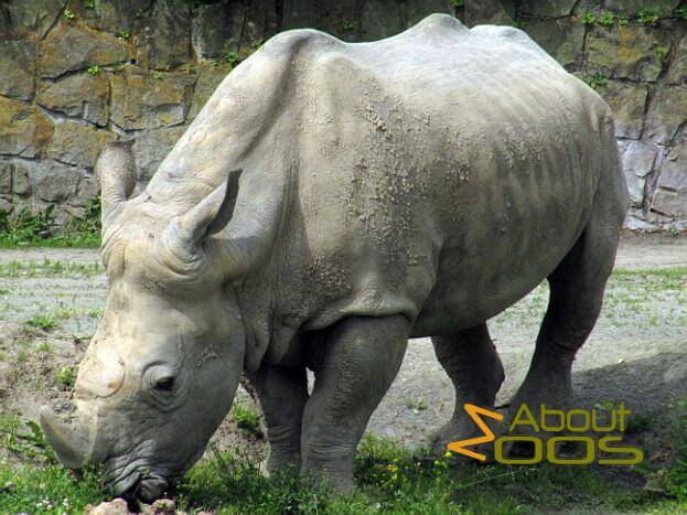 Stem-cell plan to save the northern white rhinoceros – crazy or not?