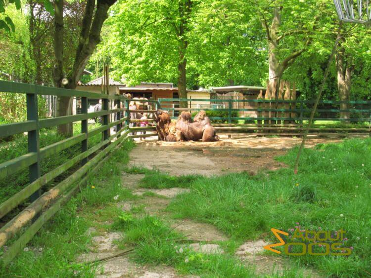 Bactrian camel at fence