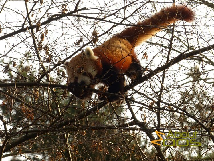Red panda in Krefeld Zoo