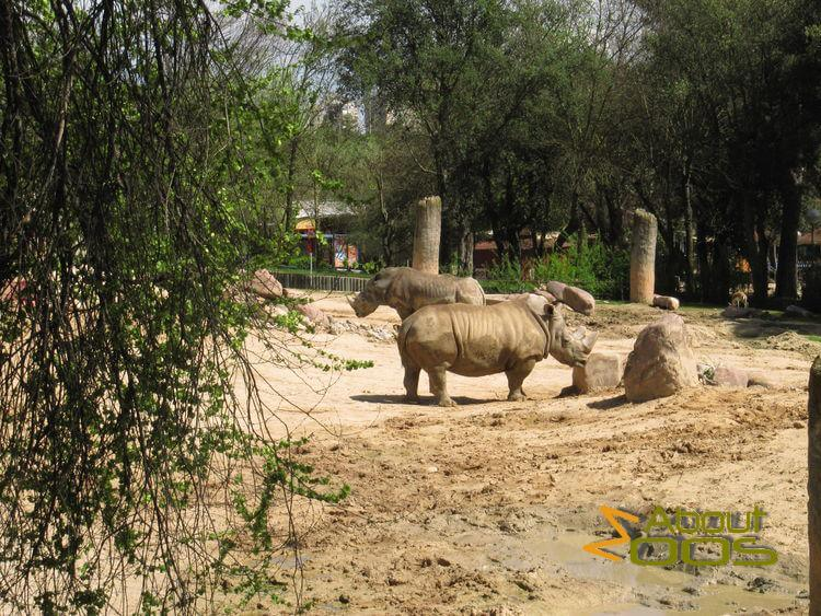 White rhinos at Madrid Zoo