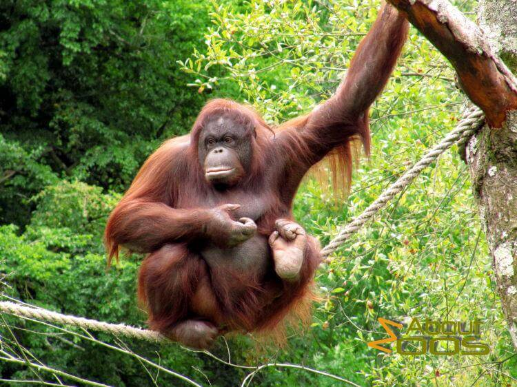 Borneo's orangutans face severe threats from land cover and climate change, says UN