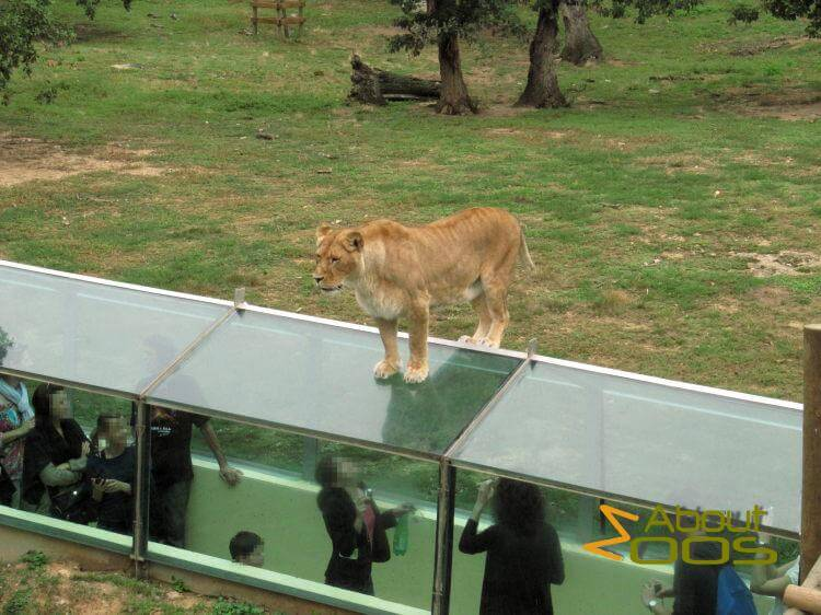 Lioness on glass tunnel