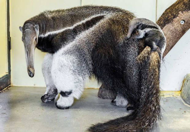 Giant anteater with young