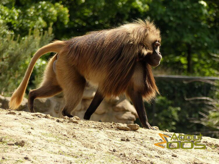Rheine Zoo - gelada baboon