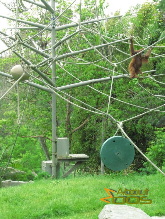 Orangutan environmental enrichment