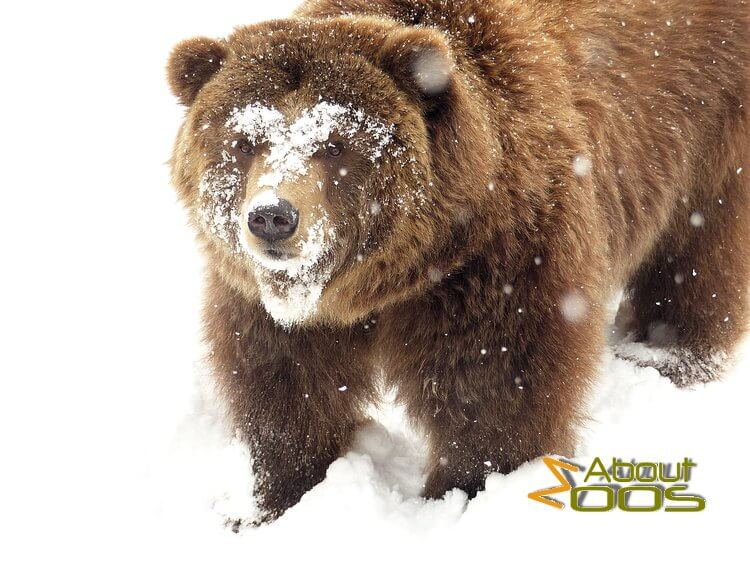 Grizzly bear at Sofia Zoo