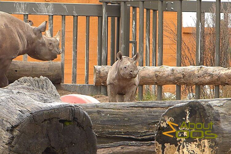 Black rhino at Tallinn Zoo