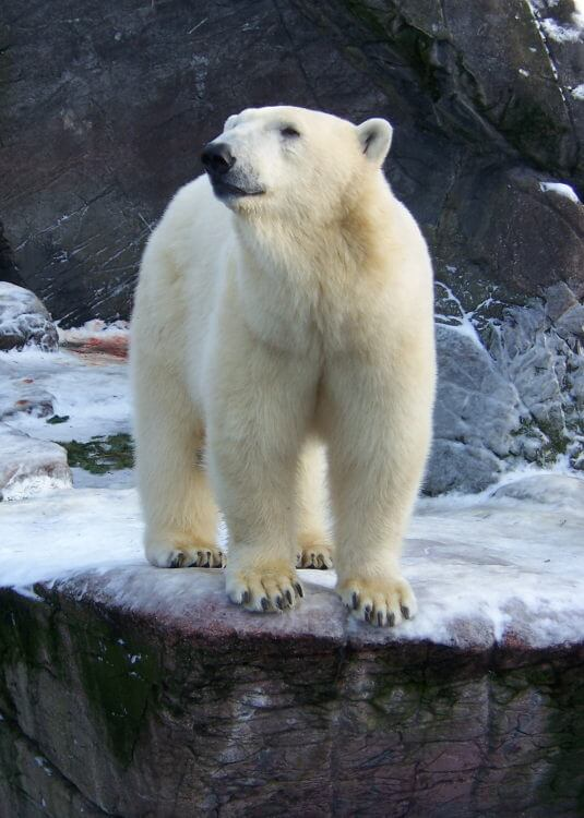 Polar bear in Copenhagen Zoo
