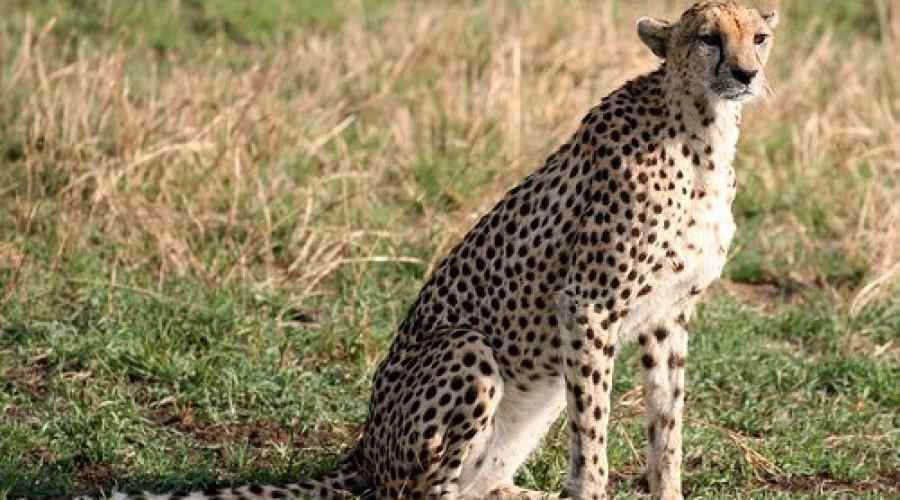 cheetah predator carnivore