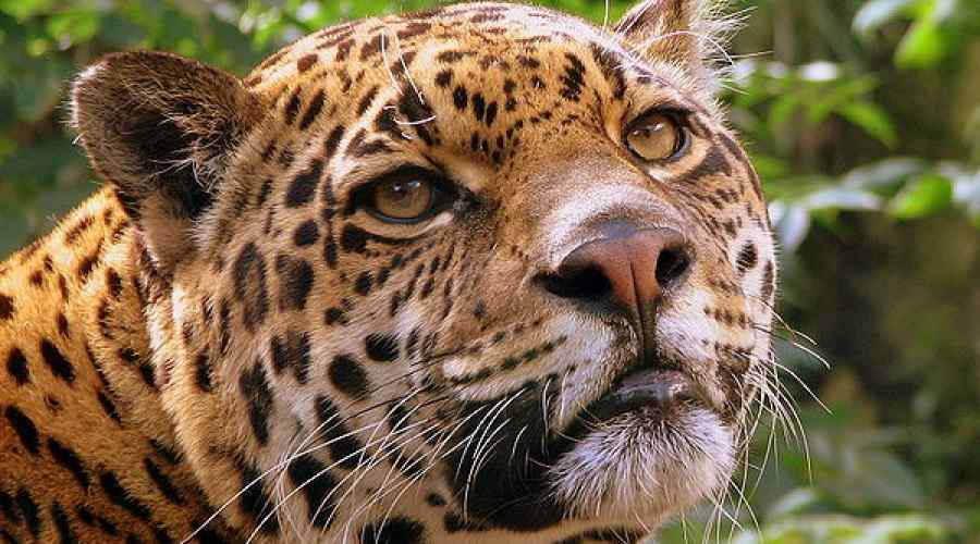 jaguar predator carnivore