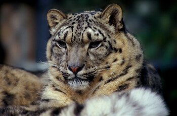 Asian countries make historic pledge to save the snow leopard