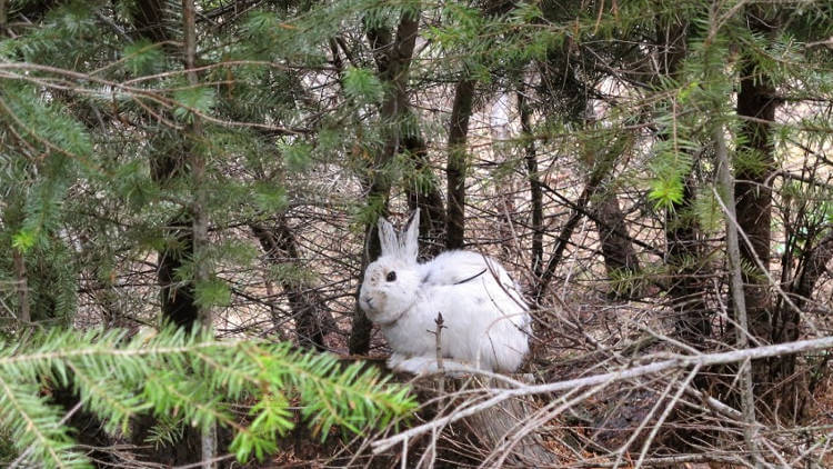 Evolutionary clock ticks for snowshoe hares facing climate change
