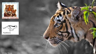 Two major tiger conservation organisations join forces