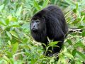 Translocation of howler monkeys helped them survive and thrive in Belize