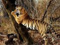 Long-term tiger survival depends on protecting corridors between protected areas