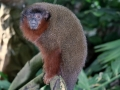 Monkeys face climate change extinction threat, new research indicates