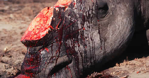 Scientists call for legal trade in rhino horn